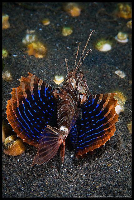 Parapterois heterura - Blackfoot Lionfish -