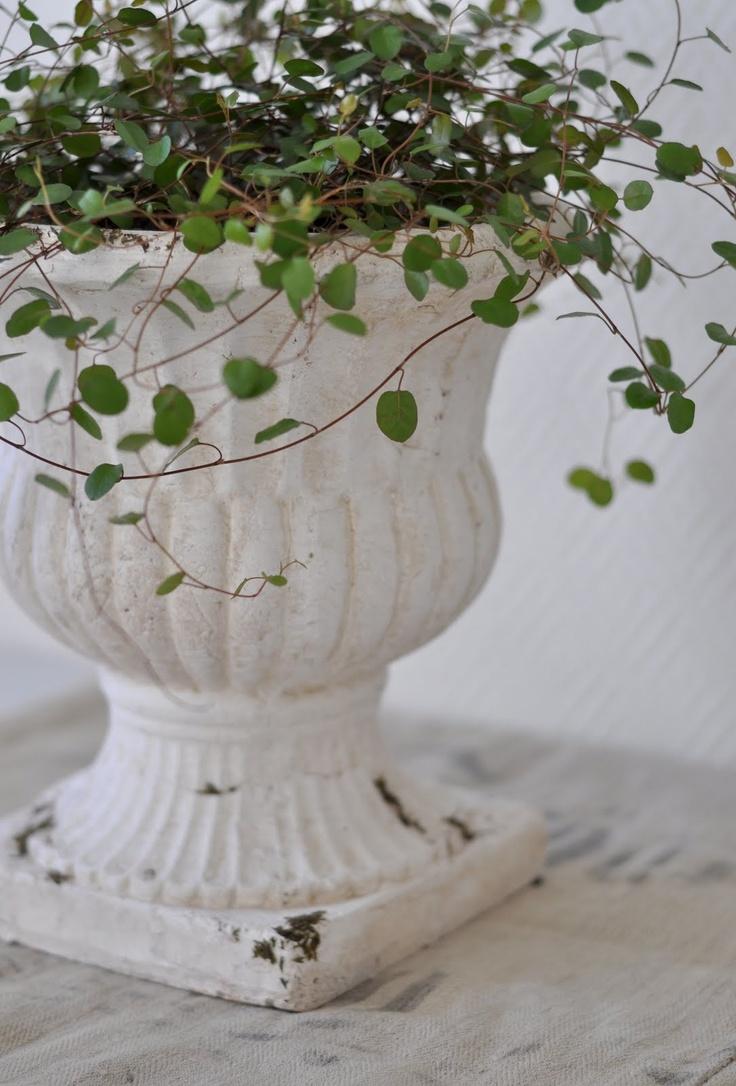 angel vine in white urn