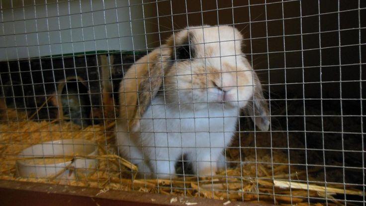 Onderzoekers van de faculteit Diergeneeskundevan de Universiteit Utrecht gaan onderzoeken of konijnen die als huisdier worden gehouden wel gelukkig zijn.