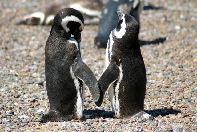 Pinguins-de-Magalhães na Península Valdez