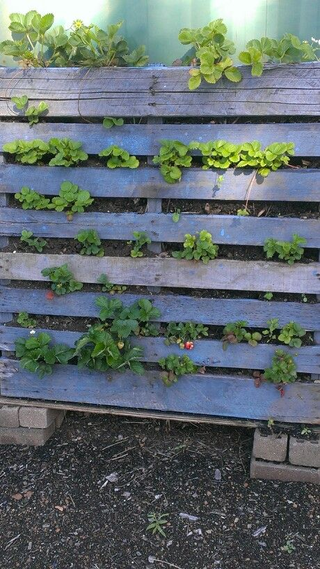 Vertical Strawberry Trial