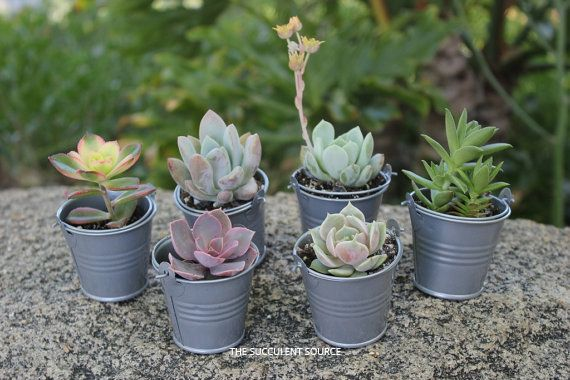 Succulents in Pails for Wedding Favors