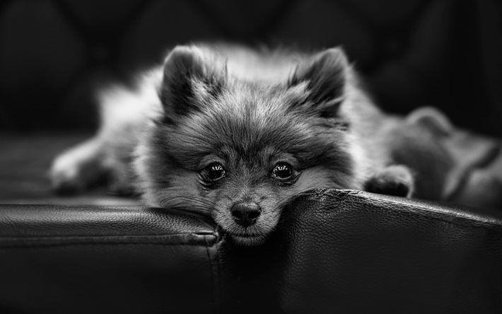 Lataa kuva pomeranian, yksivärinen, koirat, boo, kuono, söpöjä eläimiä