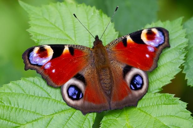 30 Best Images About Butterflies On Pinterest