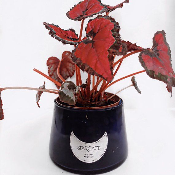 Live Red Kiss Rex Begonia Metallic Leaves In Pot With Images