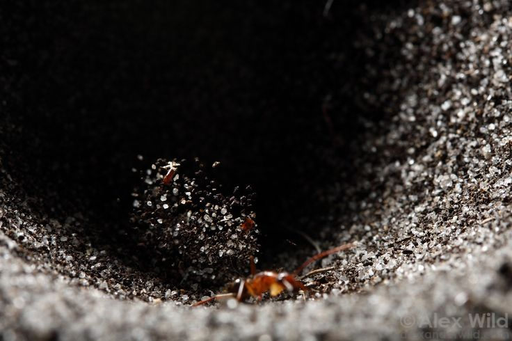 An antlion (not visible) hurls sand at an ant (Camponotus tortuganus) attempting to climb out of the trap.  Archbold Biological Station, Florida, USA
