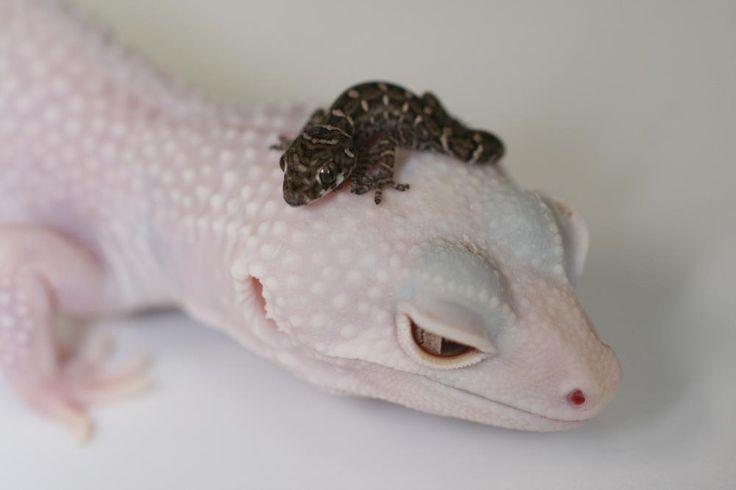 love geckos
