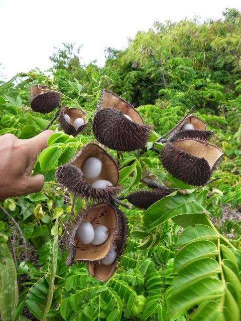 bahama plant rum cay family islands