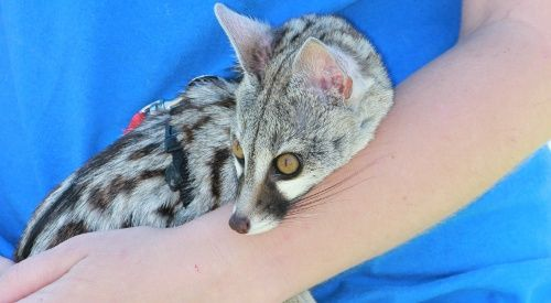 Our cuddly spotted genet friend!