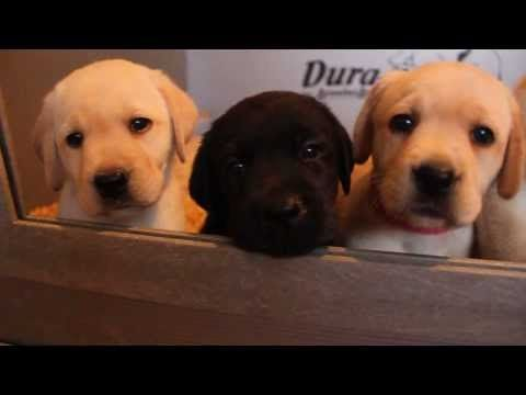 Karma X Caspar Labrador Puppies for Sale | How to Train DogsHow to Train Dogs