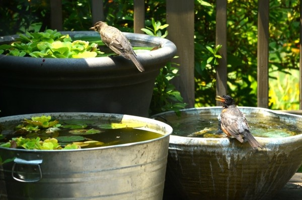 17 best images about container ponds on pinterest for Outdoor goldfish for sale