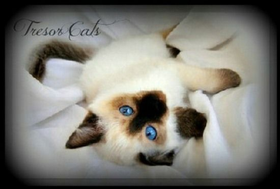 A Look At Siamese Cats Siamese Kittens Siamese Cat Breeders Cat Breeder