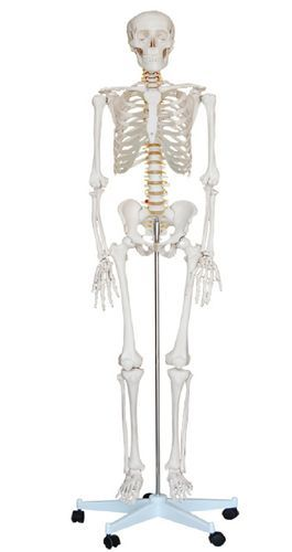 "5ft 6"" Life Size 1st Quality Human Skeleton ( Including Stand + Clear Dust Cover) + Free Bonus: Skeleton Numbering Kit includes 208 Numbered Self Adhesive (peel & stick) Round Labels to Number the Bones + Numbered Guide"