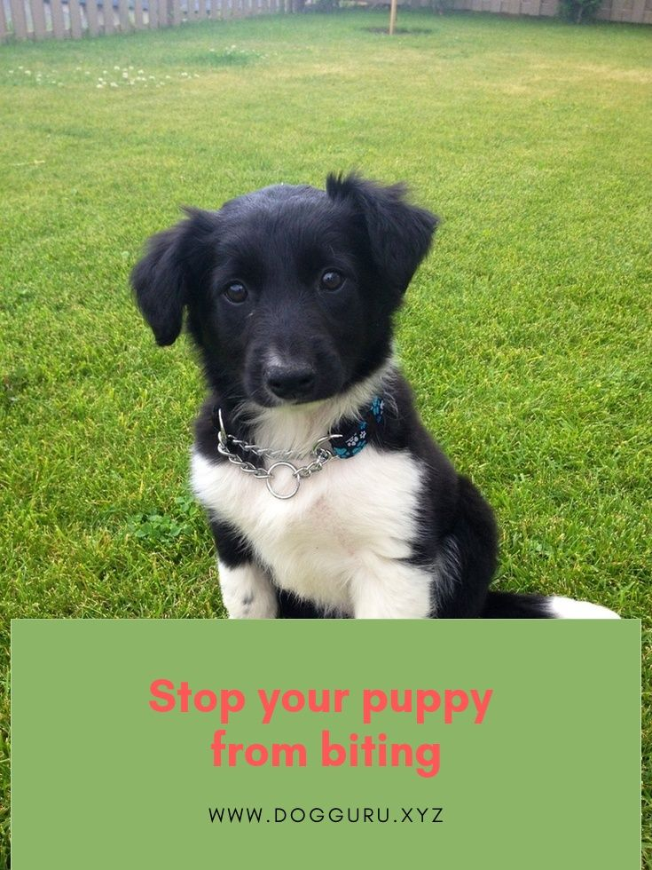 Puppies Are The Most Beautiful Things In The World Passion Can Quickly Fade Away But Once The Puppy Starts Biting Things Puppies Puppy Biting Puppy Training