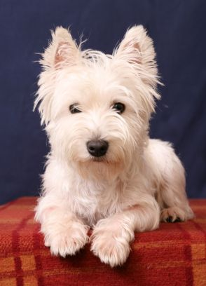 West Highland White Terrier...maybe what I should get for a playmate for ozzy??hmmm