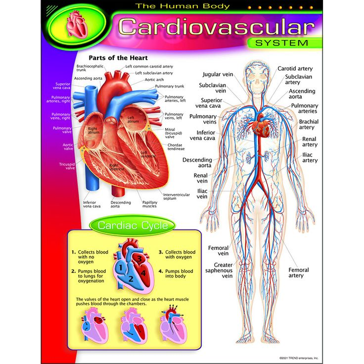 Shows major elements of the cardiovascular system. Insets focus on the parts of the heart and show how blood flows through it. Back of chart features reproducible activities, subject information, and