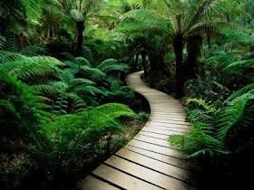 Raised walkway with New Zealand ferns and ponga