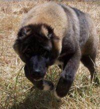 FoxFire Farms Central Asian Shepherd Studs  #Ovcharka