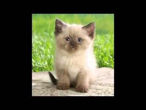 Toques Para Celular(Gatos Miando - Gatos Mais Fofo do Mundo!!!) - YouTube