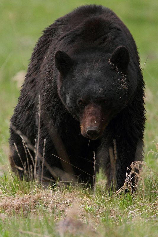 a black bear. we saw one of these when we went camping in Shenandoah. It was really cool!!!!