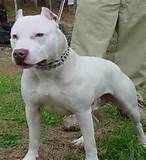 American Pitbull Dogs Pictures White Pitbull dog – Pictures Gallery