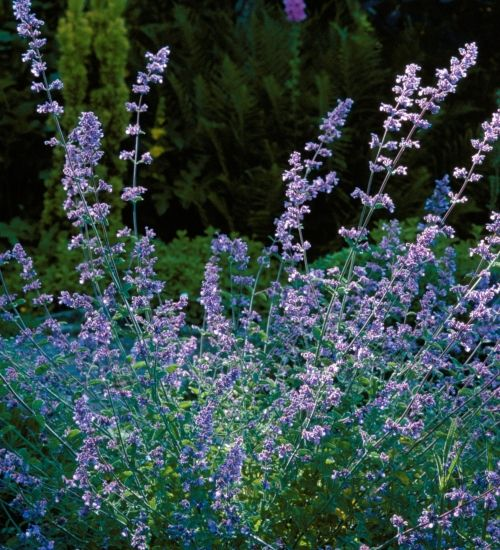 Nepeta 'Six Hills Giant'  A top ranking pollinator plant, stuffed with nectar, this forms elegant pompoms of silver grey with a halo of lavender-blue flowers for much of the summer.