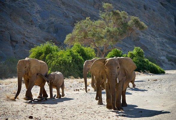 Desert-adapted elephant herd
