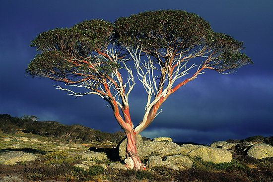 Snow gum in the high country of NSW Australia
