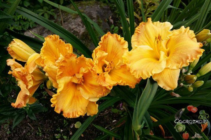 Лилейники, посадка и уход в открытом грунте – как посадить и вырастить красивые цветы, размножение, когда обрезать и как, чем подкормить, перестал цвести, полив, цветение
