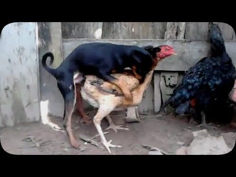 Funny dogs videos - Dogs mating with chicken - Dog mating fail 2015