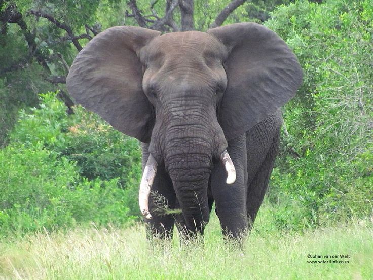 WORLD ELEPHANT DAY. * 12 August *  More than 40 000 Elephants were killed last year in Africa alone. Increased demand for ivory, is causing a dramatic escalation in poaching and a fast decline in the Elephant population. Due to the human population explosion, Elephants are losing more of their natural habitat. For the Elephant population to increase, they need space, but they have nowhere to go.