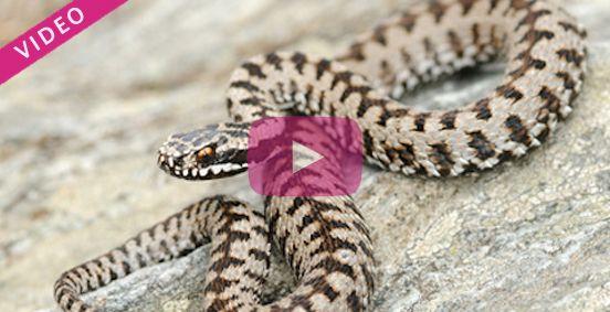 Que faire en cas de morsure de serpent ? En France, les morsures de serpent les plus dangereuses sont celles des vipères. Il est important de savoir quelle attitude avoir pour se protéger. Quels sont les gestes à ne surtout pas faire ? Et quelle conduite adopter en cas de morsure ? Découvrez toutes les réponses à travers cette vidéo.