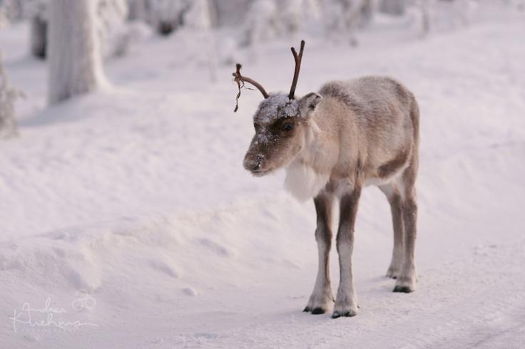 Finland Lappland Reindeer