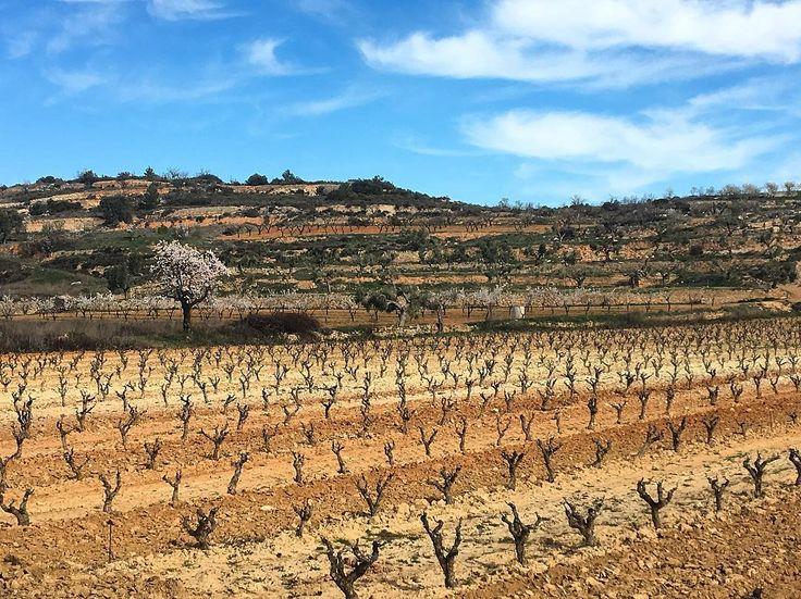 Terra de #Panal a la @doterraalta sòls frescos que retenen la poca aigua i donen molta profunditat als vins. #Winelovers #SexyWines