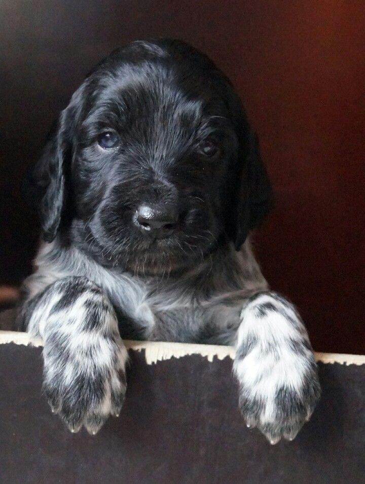 Munsterlander pup