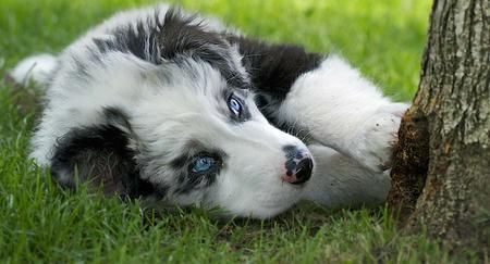 Angus the Australian Shepherd Mix | Puppies | Daily Puppy