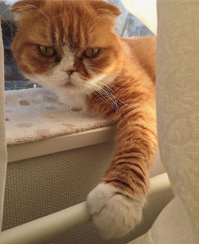 おはよございます good morning  #たま#スコ#猫#cat#cats#tama#instacat#catlover#cutecat  #にゃんすたぐらむ#ふわもこ部#neko#kawaii #ハチワレ#instagallery#beautiful#friend #catstagram#catlife#ilovemycat#茶トラ #にゃんこ#ねこ部#catsofinstagram#愛猫