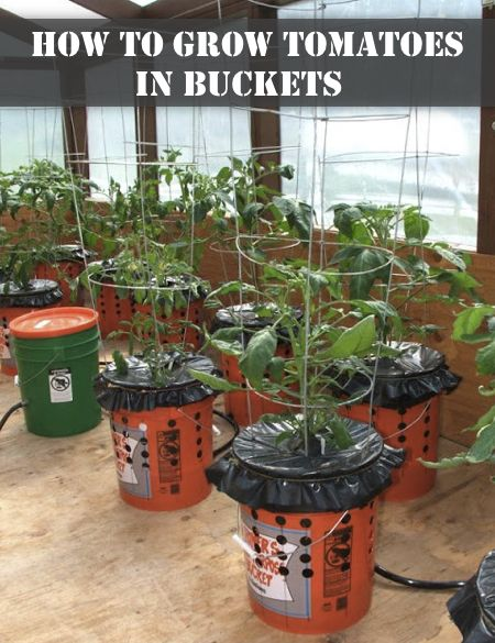 How To Grow Tomato Plants In Buckets...http://homestead-and-survival.com/how-to-grow-tomato-plants-in-buckets/