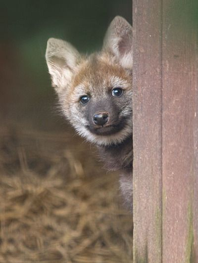 Maned Wolf Baby Maned Wolf Wolf Pup Cute Cats