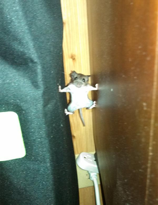 Mouse goes into mission impossible mode @Globe_Pics