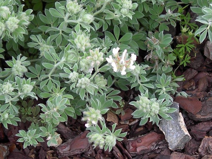 dorycnium hirsutum / dorycnie hirsute, bonjeanie hérissé, floraison clair de mai à septembre (mellifère)