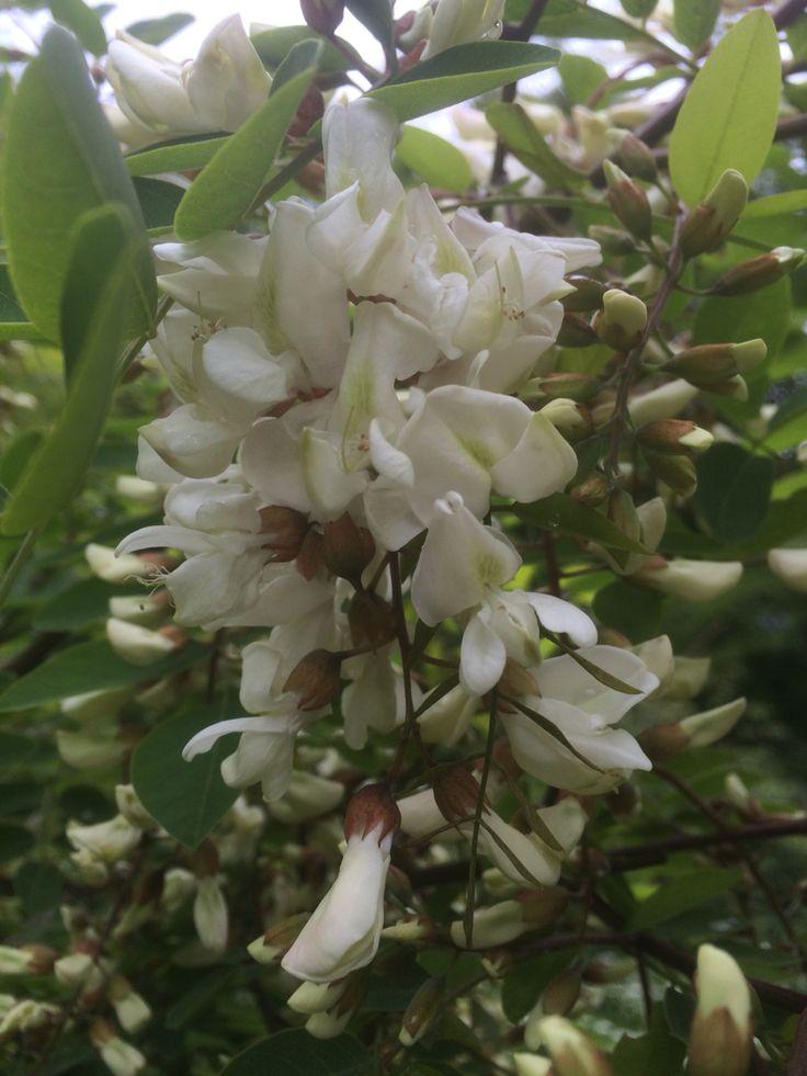 Fragrance, Acacia