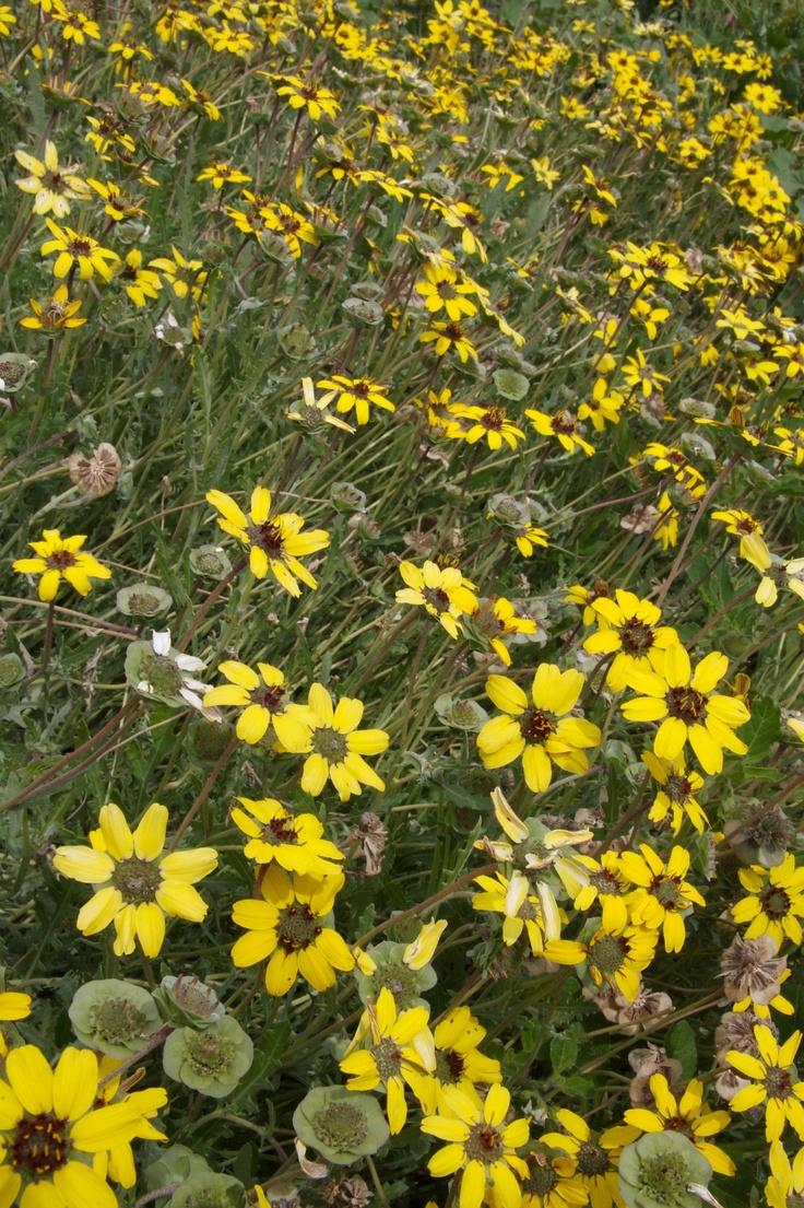 139 best desert perennials images on pinterest desert gardening