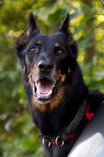 Rej / beauceron / dogs