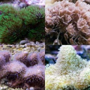 Grand sélection de coraux mous dans notre boutique en ligne pour sublimer votre aquarium récifal - Coral Biome, Live Cultured Corals
