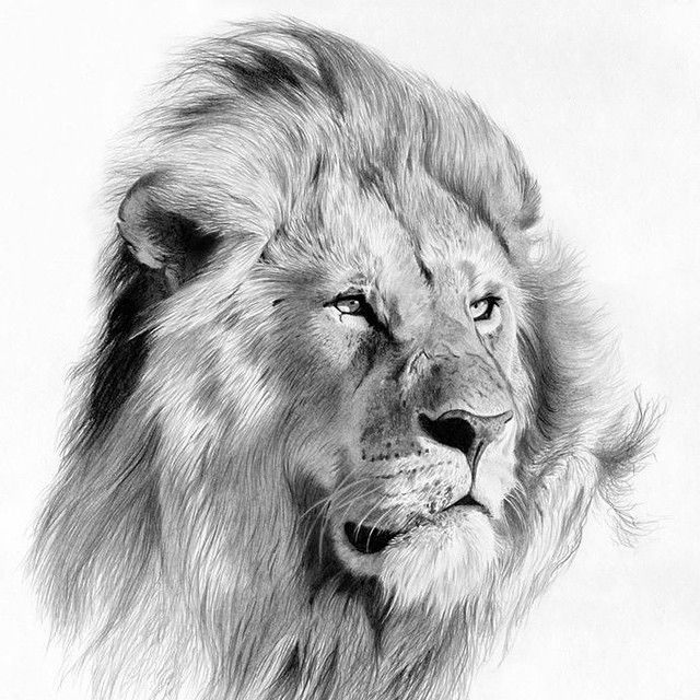 """""""It's already #fanartfriday again. This pencil sketch by Fernando Ferreiro is incredible. Such life in the lions eyes. Well done and keep em coming.…"""""""