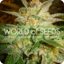 Star 47 - strain - World of Seeds | Cannapedia