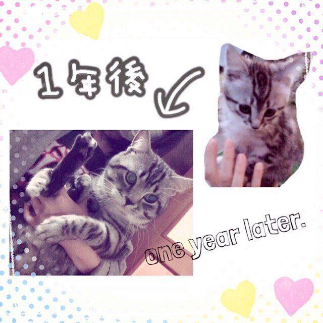 This is my American Shorthair.  His name is Kotaro. * うちのアメショー虎太郎くん * #cat #catslovers #cats #catstagram #americanshorthair #ねこ #愛猫 #ねこ #猫 #アメショー #アメリカンショートヘア #にゃんこ #子猫
