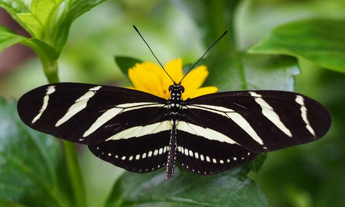 Only one group of butterflies feeds on pollen. This zebra butterfly's tongue collects pollen. It will dissolve the pollen with saliva. From our Topic What Insects Eat | Kids Discover