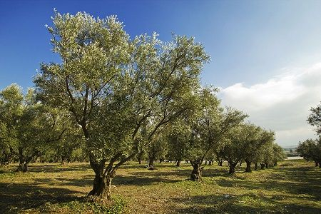 Olive Trees for Sale | Buy Olive Trees for Sale | Fast Growing Trees